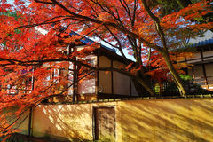 Red japanese maple autumn fall Royalty Free Stock Image