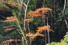 Red japanese maple autumn fall Stock Images