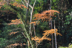 Red japanese maple autumn. Fall Stock Images