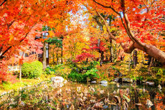 Red japanese maple autumn fall Royalty Free Stock Images