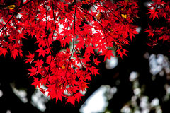 Red japanese maple autumn fall , momiji tree in kyoto japan Stock Photos