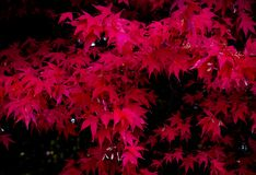 Red Japanese maple royalty free stock photo