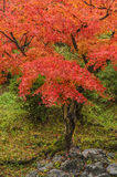 Red Japanese Maple Autumn Stock Images