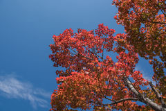 Red Japanese maple leaf on tree and blue sky background. Red Japanese maple leaf on tree  blue sky background Stock Photo