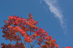 Red Japanese maple leaf on tree and blue sky background. Red Japanese maple leaf on tree  blue sky background Royalty Free Stock Images