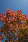 Red Japanese maple leaf on tree and blue sky background. Red Japanese maple leaf on tree  blue sky background Royalty Free Stock Image
