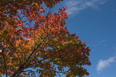 Red Japanese maple leaf on tree and blue sky background. Red Japanese maple leaf on tree  blue sky background Stock Image