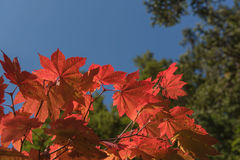 Red Japanese maple leaf on tree and blue sky background. Red Japanese maple leaf on tree and blue sky Stock Photo