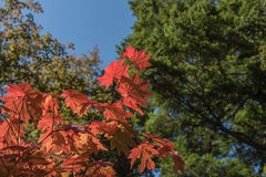 Red Japanese maple leaf on tree and blue sky background. Red Japanese maple leaf on tree and blue sky Royalty Free Stock Photos