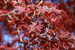 Red Japanese Maple Leaf on the tree with blue sky background. The leaves change color from green to yellow, orange and red in autumn Stock Photography