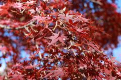 Red Japanese Maple Leaf on the tree with blue sky background. The leaves change color from green to yellow, orange and red in autumn Royalty Free Stock Image