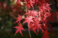 Red Japanese Maple Leaf on the tree with sunlight. The leaves change color from green to yellow, orange and red. stock image