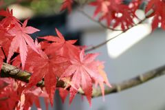 Red Japanese Maple Leaf on the tree with sunlight. The leaves change color from green to yellow, orange and red. Red Japanese Maple Leaf on the tree with stock photo