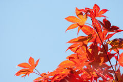 Red Japanese maple. Leafs. Autumn beautiful colors Stock Photography