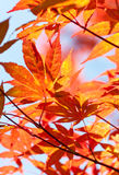 Red Japanese maple. Leafs. Autumn beautiful colors Royalty Free Stock Image