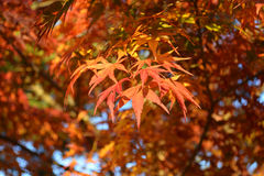 Red Japanese Maple Leafs in the Fall. Red Japanese maple tree leaves in the fall Royalty Free Stock Photos