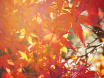 Red Japanese Maple leave stock photography