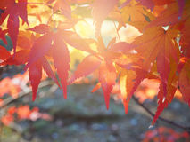 Red Japanese Maple leave Royalty Free Stock Photography
