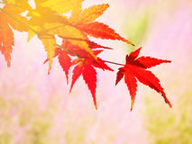 Red Japanese Maple leave in autumn stock photos