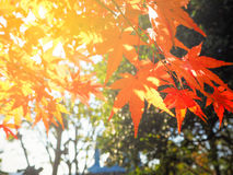 Red Japanese Maple leave in autumn royalty free stock images