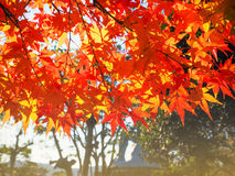 Red Japanese Maple leave in autumn stock photography