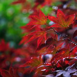 Red japanese maple leaves Stock Photography