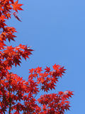 Red japanese maple leaves. Branches of red japanese maple leaves against clear blue sky Stock Image