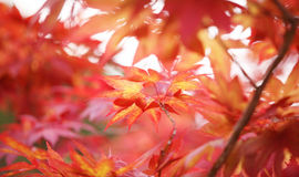 Red Japanese maple leaves Royalty Free Stock Photo