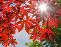 Red Japanese Maple Leaves Against Blue Sky Royalty Free Stock Photography
