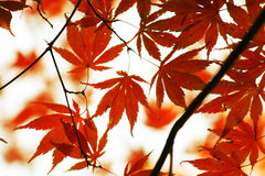 Red japanese maple leaves in autumn Stock Photos