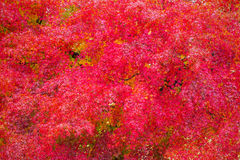 Red japanese maple leaves Royalty Free Stock Photography