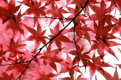 Red Japanese maple leaves background stock images