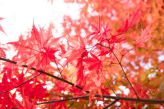 Red japanese maple leaves Royalty Free Stock Image