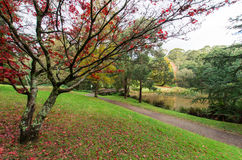 Red Japanese maple leaves in the Dandenong Ranges Royalty Free Stock Photo