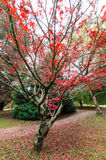 Red Japanese maple leaves in the Dandenong Ranges Stock Photography