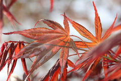 Red japanese maple leaves Royalty Free Stock Photos