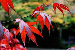 Red Japanese maple leaves. Red maple leaves on a sunny autumn day royalty free stock image