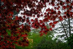 Red Japanese Maple leaves on a tree Stock Photo