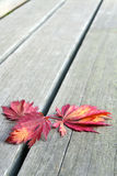 Red Japanese Maple Leaves on Wood Bench Background Stock Photography