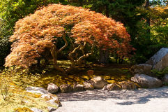 Red japanese maple near the path in the japanese garden Royalty Free Stock Photos