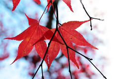 Red Japanese maple tree. Closeup Stock Image