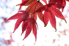 Red Japanese maple tree. Closeup Stock Photography