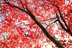 Red Japanese Maple tree background Royalty Free Stock Photo