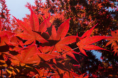 Red Japanese Maple Tree Stock Images