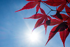 Red Japanese Maple Tree Royalty Free Stock Images