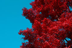 Red Japanese maple tree fall background with blue sky copy space on left side Royalty Free Stock Images