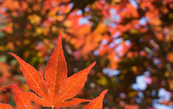 Red Japanese Maple Tree Leaf Stock Images