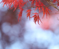 Red Japanese Maple tree leaves. A Japanese Maple tree leaves turn bright red in the autumn stock photography