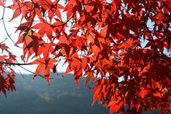 Red Japanese maple tree leaves displaying their best fall color Stock Images