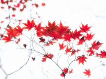 Red Japanese maple tree leaves illuminated by sunlight on white background Stock Photos